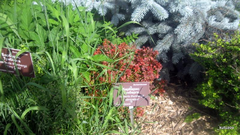 Огород-барбарис