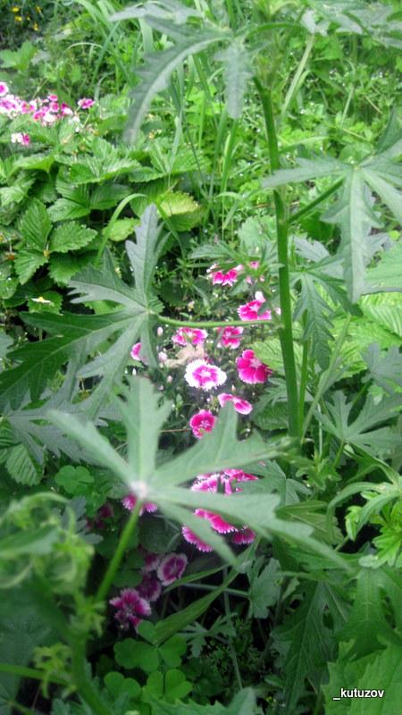Огород-цветы-2
