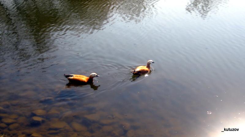 Парк-пруд-утки