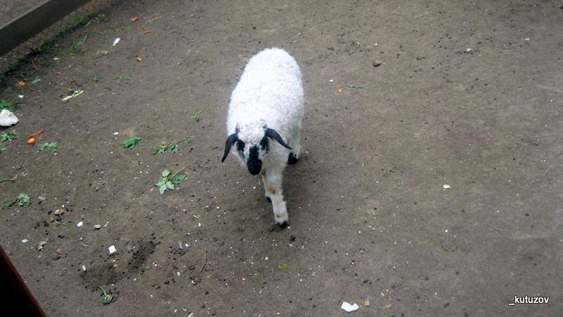 Кузьма-овца