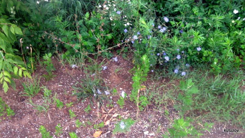 Цветы-голуб