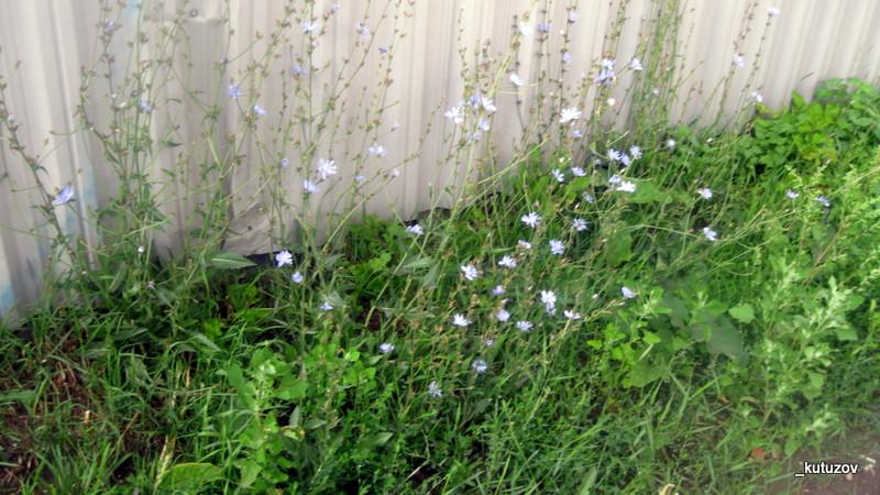 Цветы-голуб-1