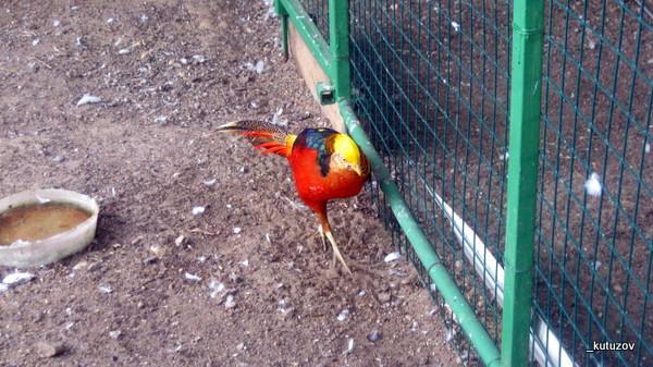 Эльдар-фазан