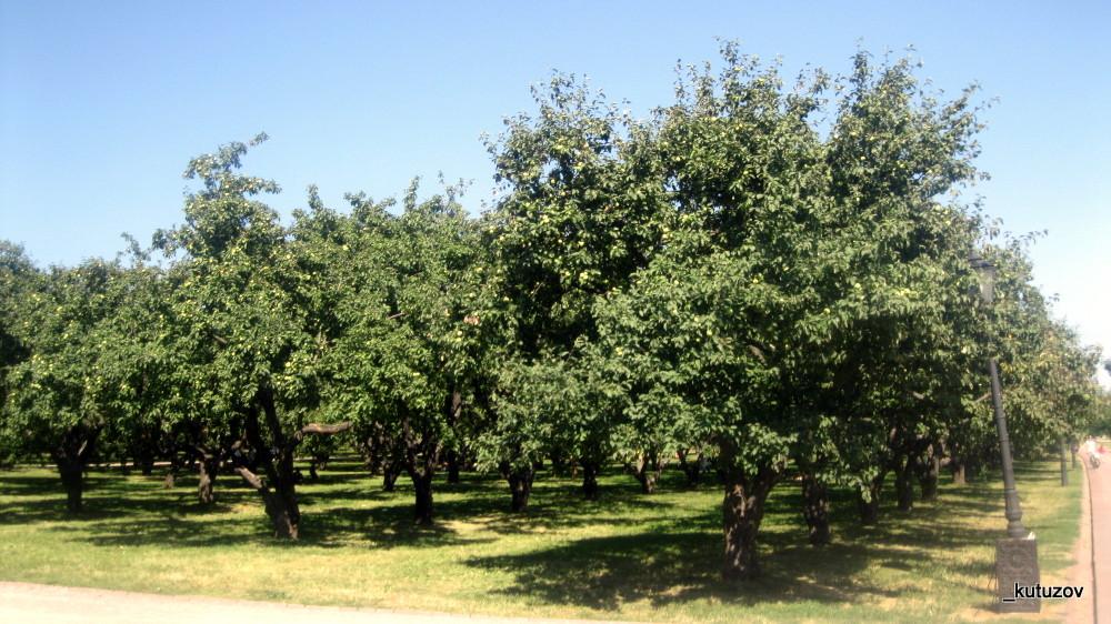 Колом-яблони