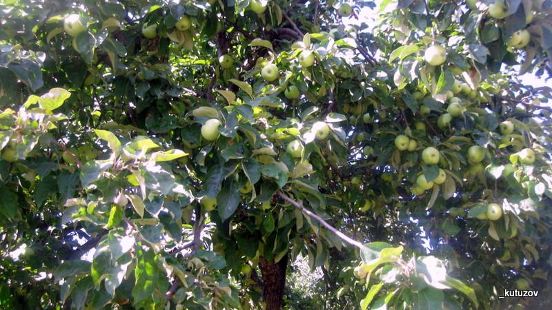 Колом-яблоки-1