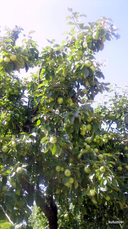 Колом-яблоки