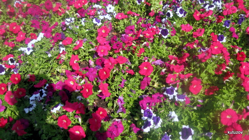 Сквер-цветы-2