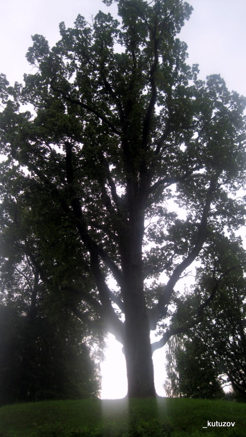 Михай-дуб