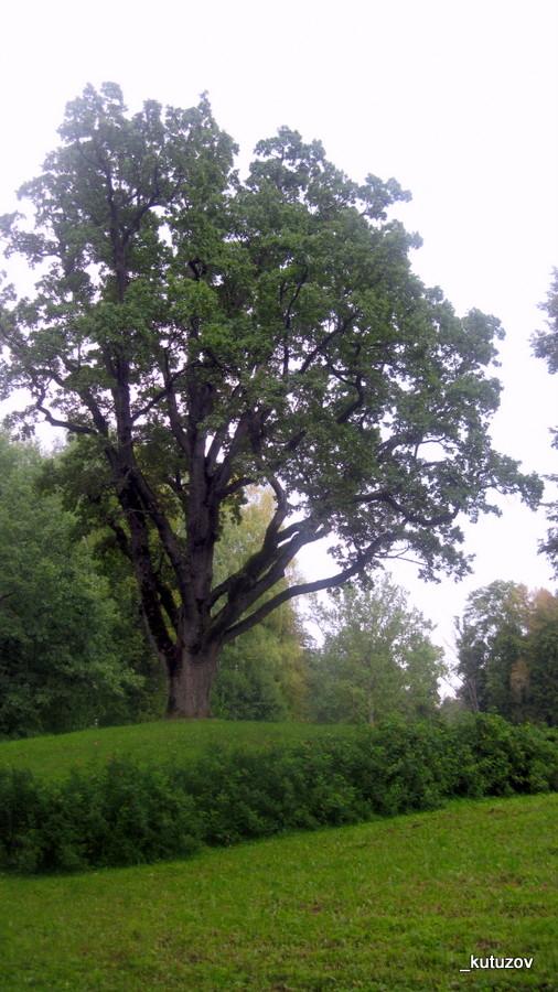 Тригор-дуб