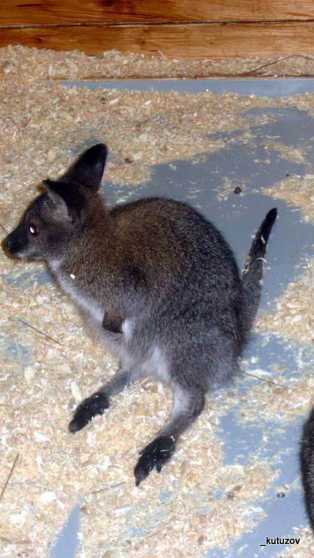 Зоо-кенгуру-3