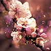 BeautifulBlossom-niffy_icons