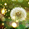 dandelion-niffy_icons
