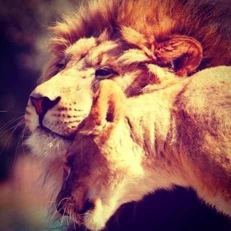 если твоя половинка лев как и ты