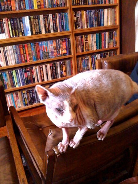 Ash, the semi-hairless hairless cat