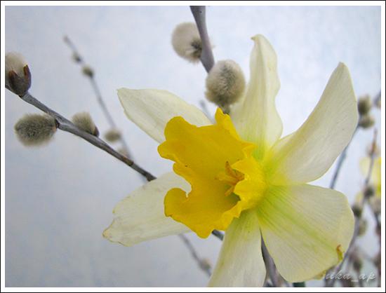 нарциссы и верба (3)