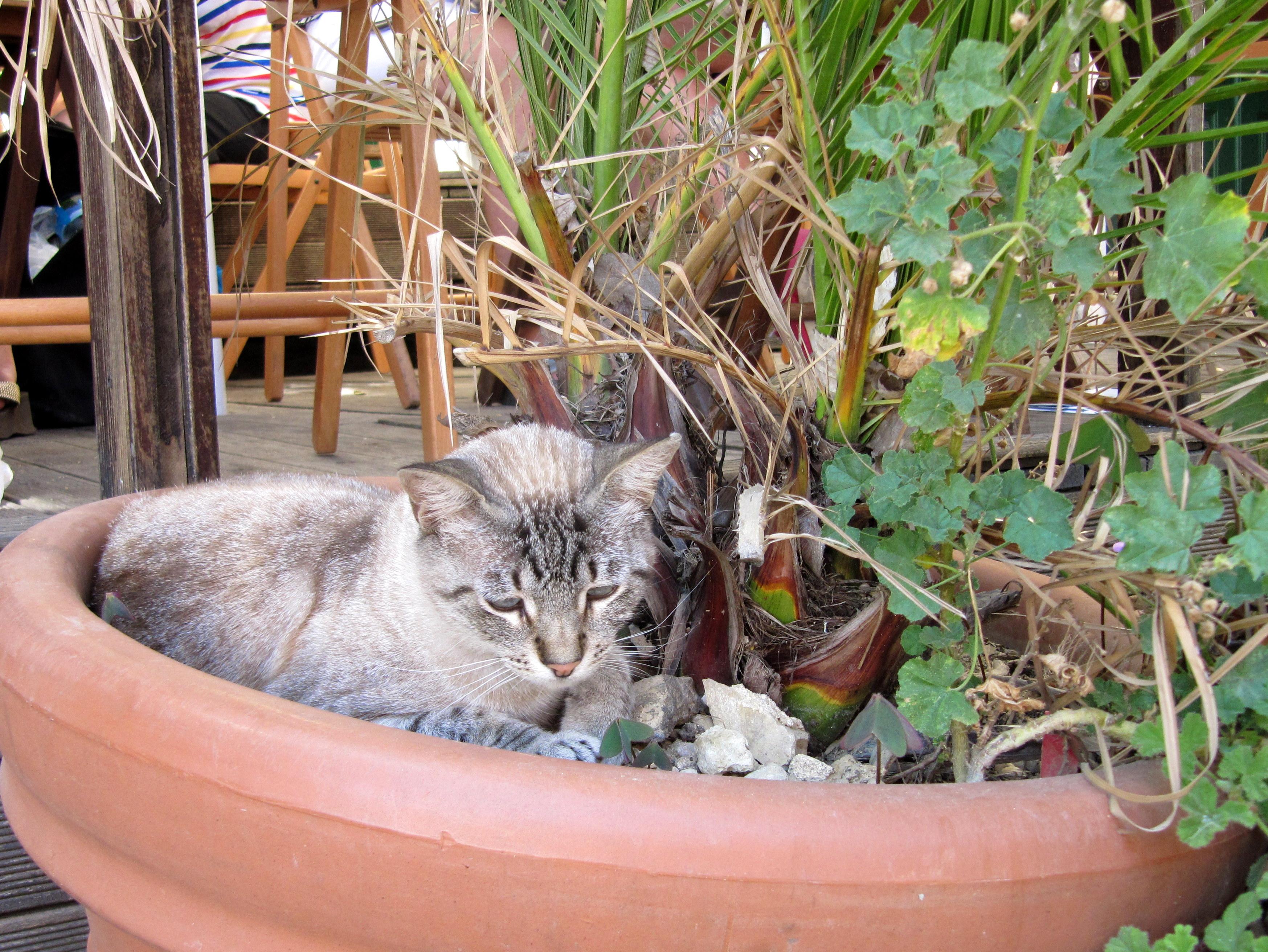 португальский кот