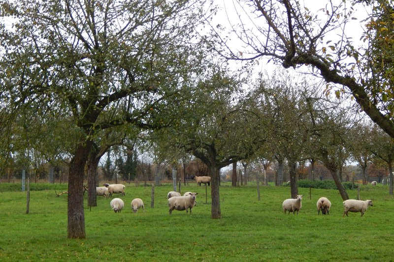 Нормандия. Бараны плюс яблоки.jpg