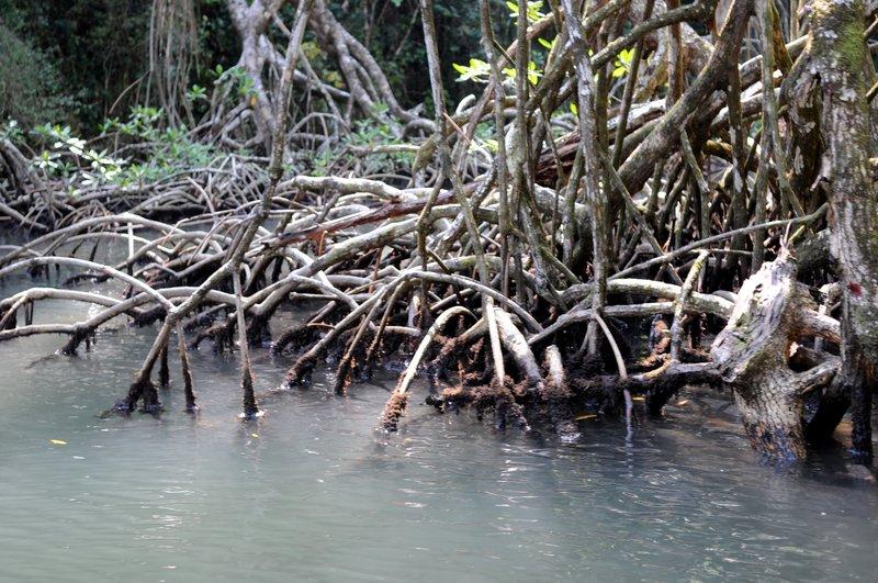 37_Черные мангровые заросли в парке Los Haities