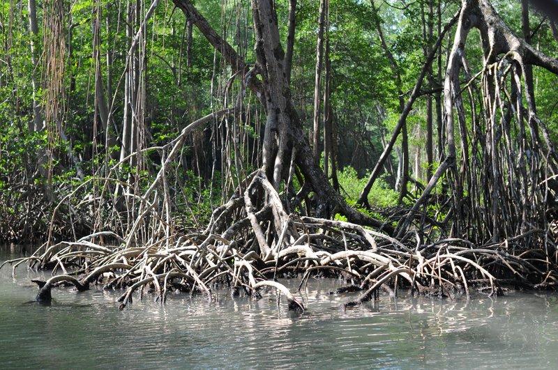36_Черные мангровые заросли в парке Los Haities