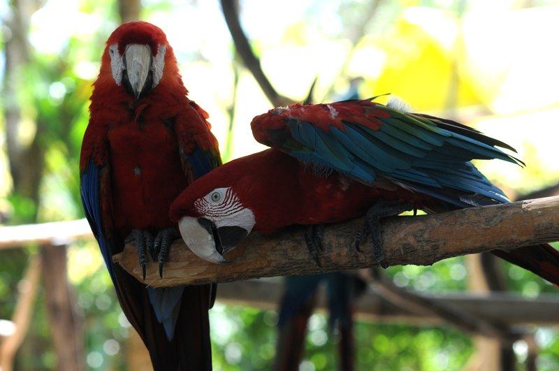 21_Попугаи ара в Manati Park