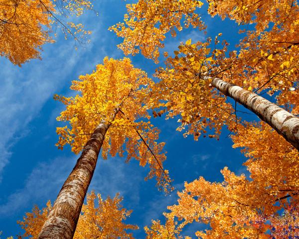 Осень, березки)