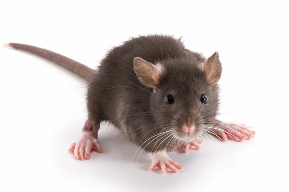 Родченков крыса