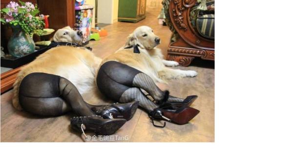 собаки в колготках