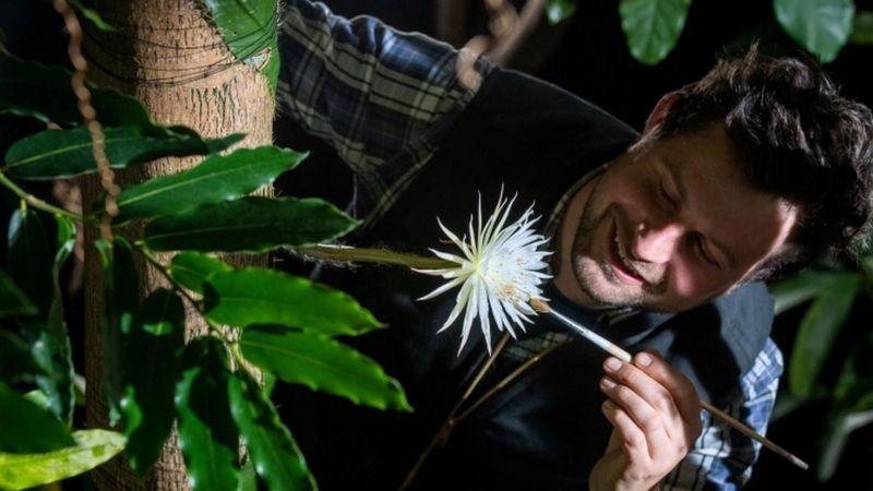 """Работник ботанического сада опыляет цветок """"Царицы ночи"""""""