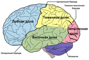 Мозг доли_1