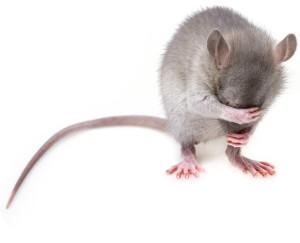 Постчеловек мыши_1