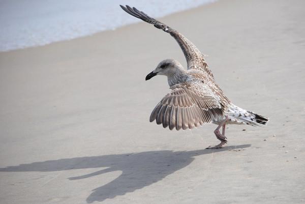 Чайка танцует Русского