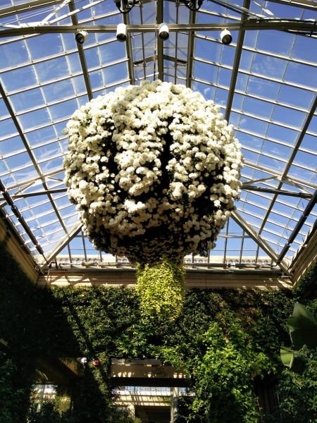 Куст хризантем 2 Сад Дюпон