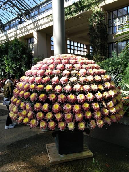 Куст хризантем 3 Сад Дюпон