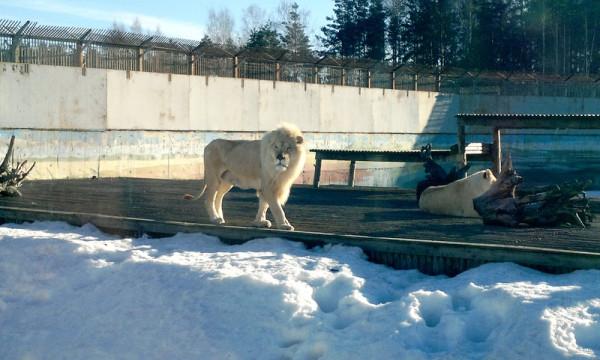 Снег и Лев Ярославский зоопарк