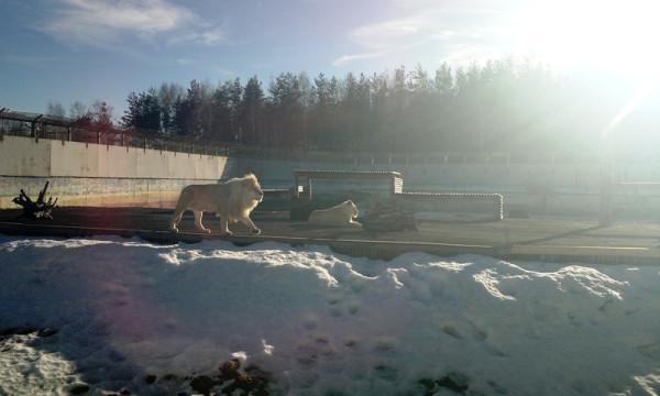 Снег и Лев 1