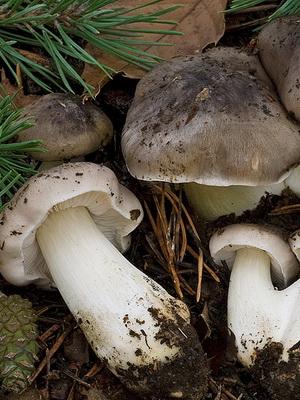 Мышата грибы Крыма 1