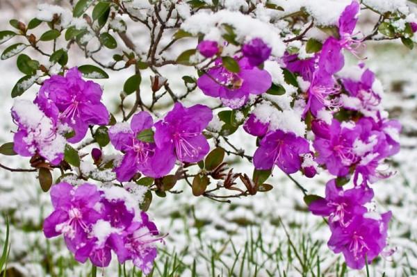 Почему багульник - новогодний цветок?