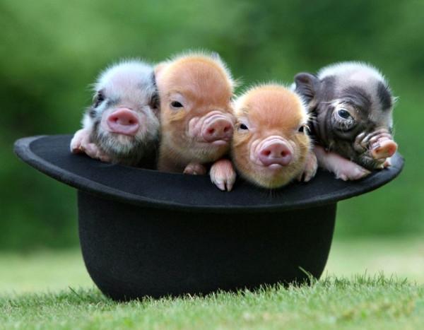 Весёлая свинья