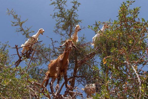 Козы на аргановом дереве. Марокко