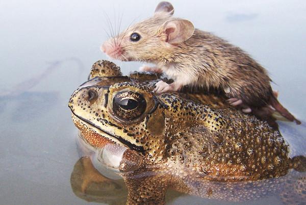 Мышь и жаба