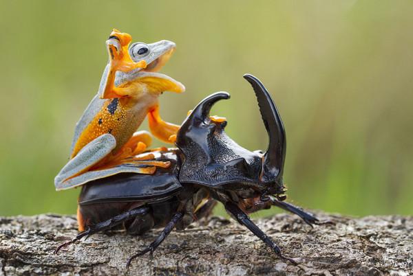 Лягушка и жук-носорог