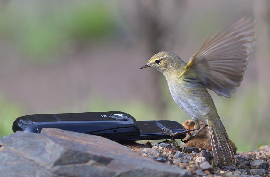 фото пеночек теньковок птиц