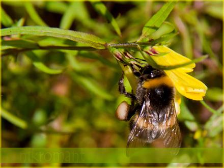 Селигер. Пчела с нектаром.