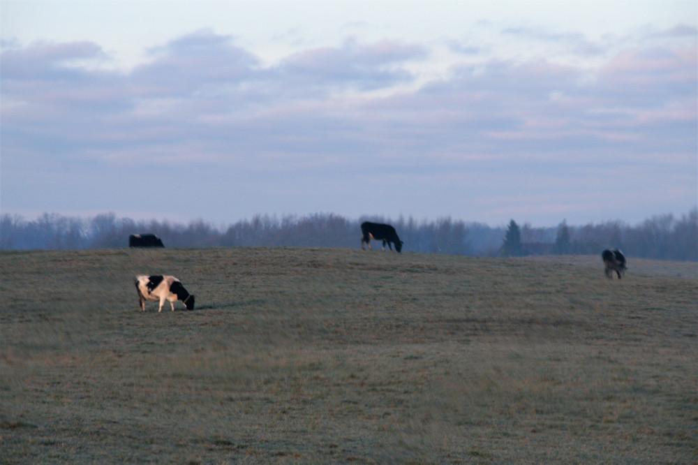 31 декабря, коровы пасутся в поле IMG_2354 (2)