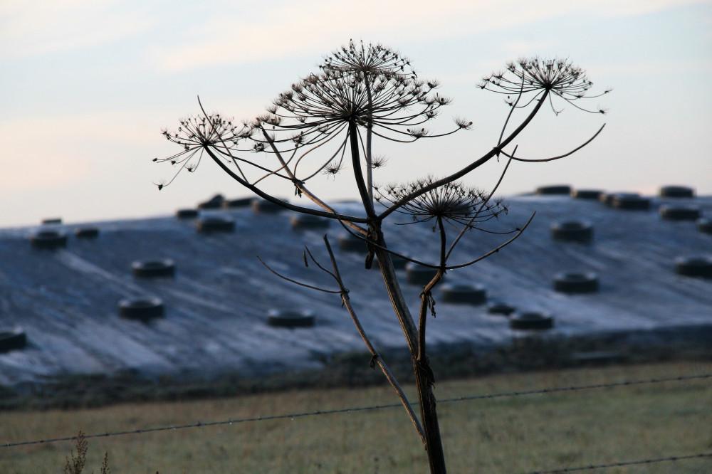 31 декабря, коровы пасутся в поле IMG_2351 (2)