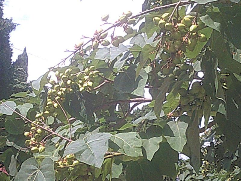 странное дерево и плоды
