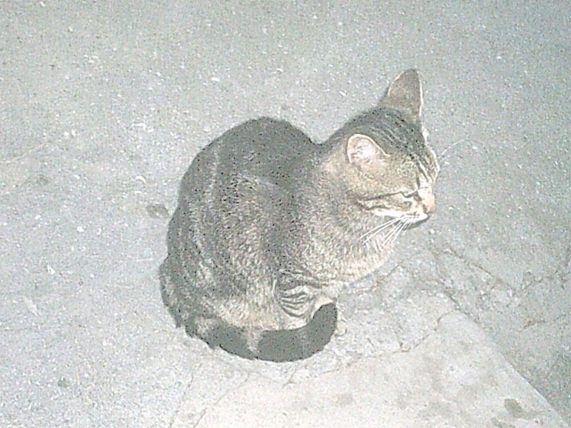 Дворовый кот Бориска