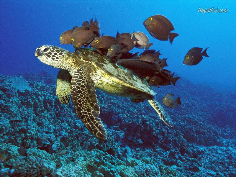 х. черепахи