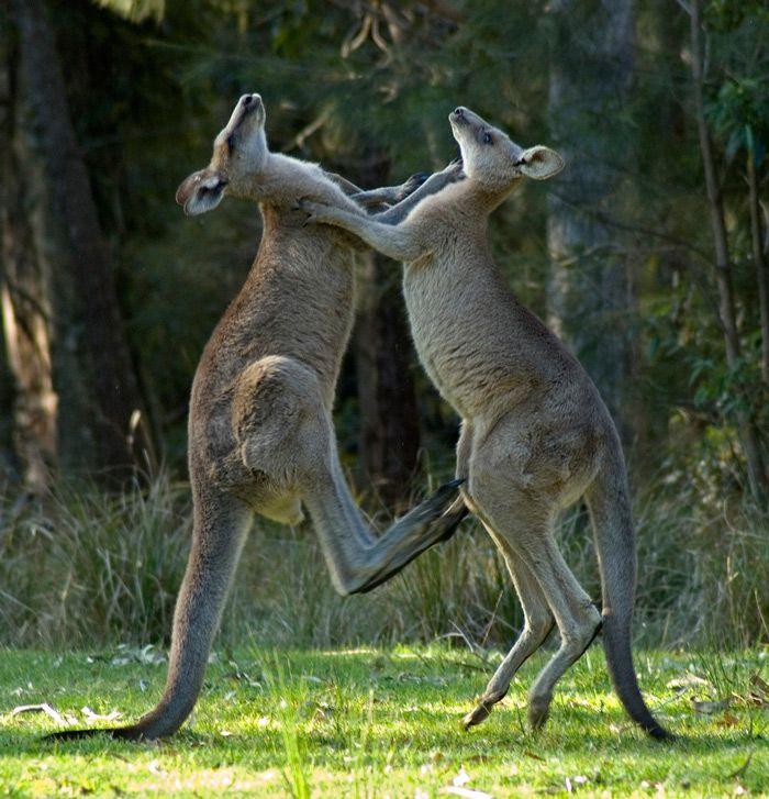 хвосты оленей