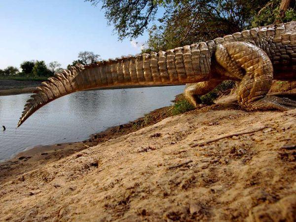 х. крокодила
